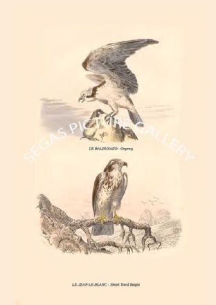 Osprey , Short Toed Eagle